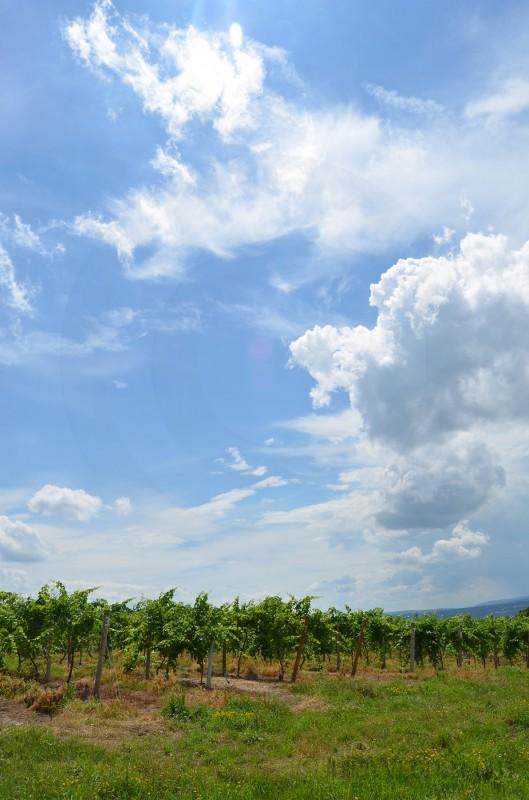 Vineyard on Seneca Lake in New York