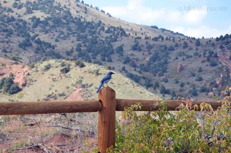 Scrub Jay in Red Rocks Park in Golden, Colorado