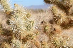 Cactus mojave