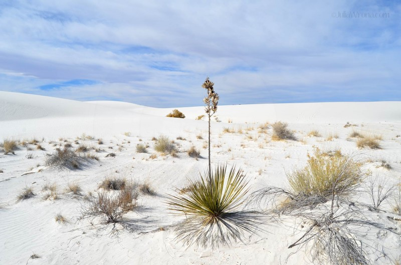 Plant in white sand at White Sands National Park