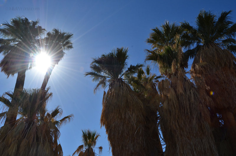 Fan Palms in the Oasis of Mara