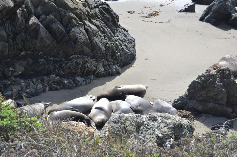 Elephant seals on beach in San Simeon