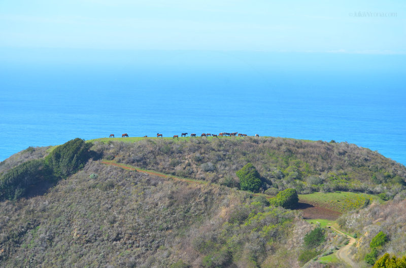 Horses on the bluff overlooking the Pacific Ocean