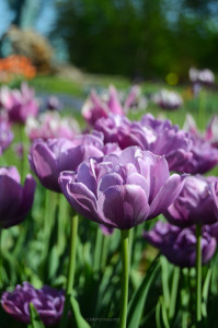 Purple Double Tulip