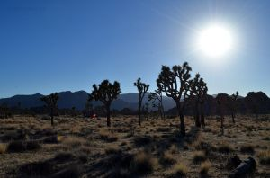 A Field of Joshua Trees