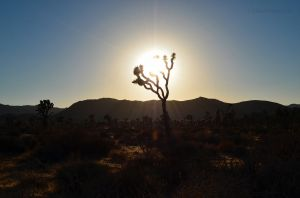 Magic Hour in Joshua Tree