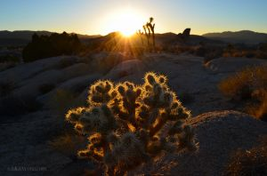 Joshua Tree Aglow