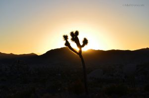 The Glow of a Joshua Tree