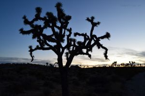 Joshua Tree at Dusk