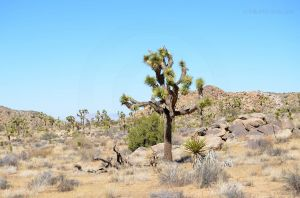 Joshua Tree National Park 05