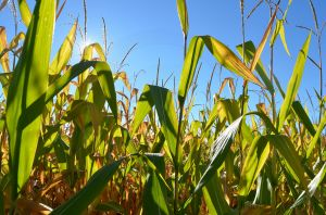 Cornfield Close Up