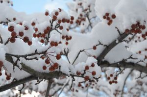 Crab Apples Coated in Snow