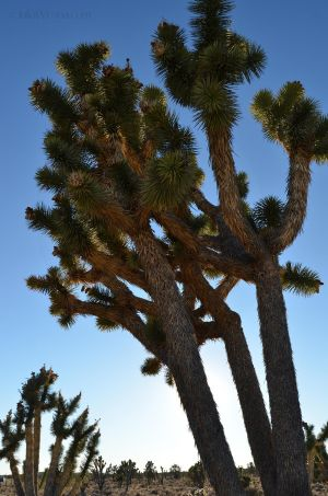Joshua Trees in Mojave