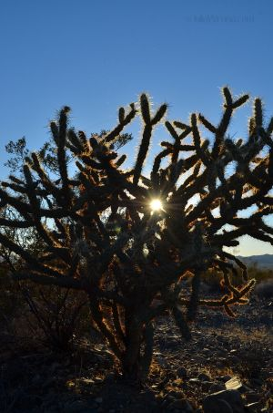 Sun Through the Cholla