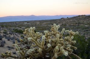 Sunset behind the Cholla