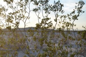 Green Creosote Bush