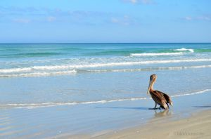 Pelican on the Atlantic