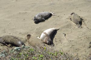 Elephant Seals Looking Up
