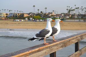 Seagulls on Seal Beach