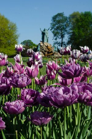 Tulips and King Memorial Fountain