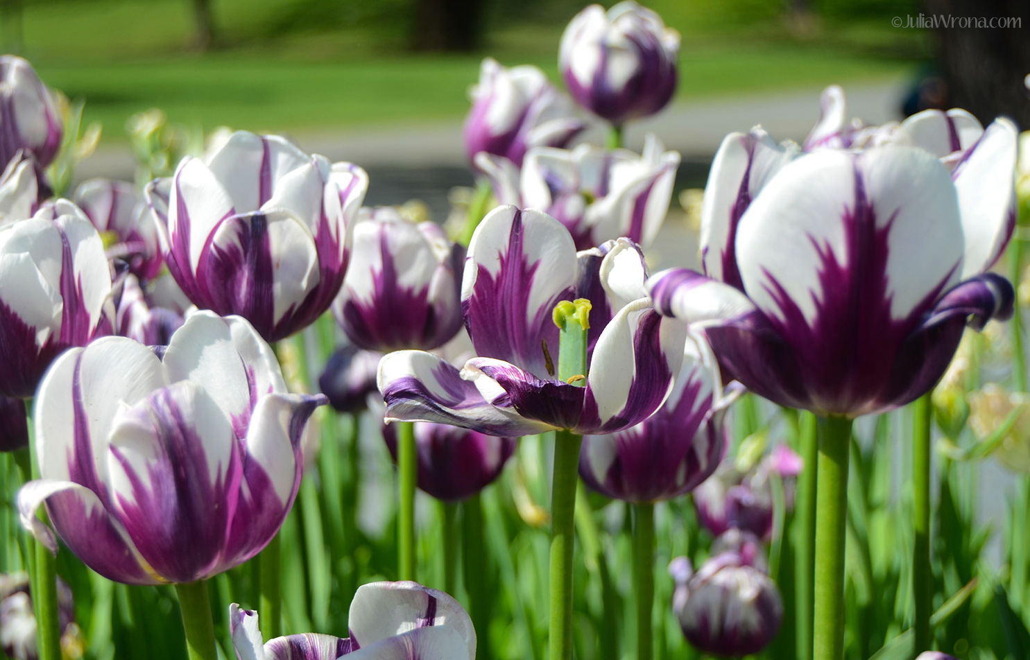 Purple And White Tulips   Wallpapers Gallery