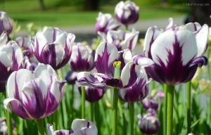 JKW_8091eweb2 Purple and White Tulips 02.jpg