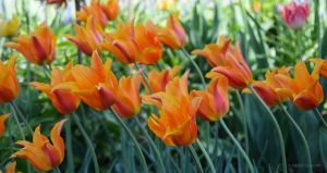JKW_8138ebweb Orange Tulips Leaning.jpg