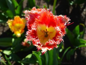 JKW_8146eweb Tulip Glowing copy.jpg