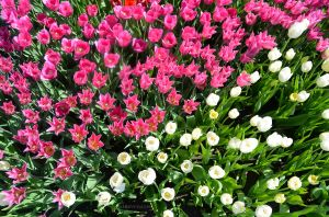Pink and White Tulips from Above