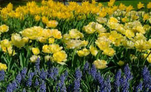 Yellow Green Muscari