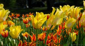 Yellow Tulips Leaning