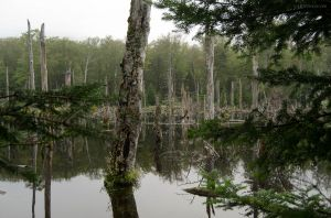 Swamp in the Adirondacks
